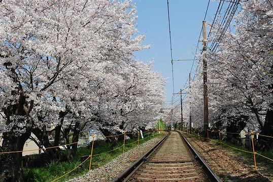 京福北野線 桜のトンネル